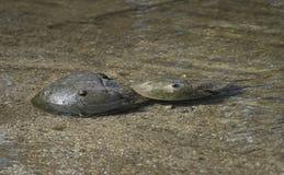 Kotelni podkowy kraby Fotografia Royalty Free