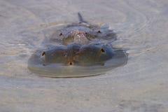 Kotelni podkowy kraby w Fortu De Soto stanu parku, Floryda zdjęcia royalty free