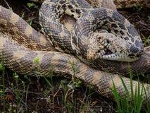 Kotelnia byka węże plątający wpólnie zdjęcia royalty free
