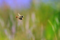 Kotelnia Flowerflies Na powietrzu Z Zamazanym tłem Obraz Royalty Free
