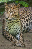 Kotiya pardus пантеры леопарда Sri Lankan стоковое фото