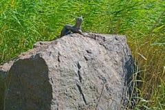 Kotka, Finland Een otterbeeldhouwwerk op een reusachtige kei in het park Stock Foto