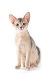 kotku abyssinian Zdjęcie Royalty Free