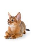kotku abyssinian Zdjęcie Stock