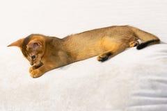 kotku abyssinian Antyczny kota traken obrazy royalty free