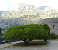 Kotor,Montenegro. Extraordinary beautiful tree against mountains and Kotors fortress Royalty Free Stock Photography