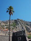 Kotor Palm. Palm in front of old kotor fortress Stock Photos