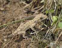 Kotschy�s Gecko. Mediodactylus kotschyi Small Mediterranean Reptile royalty free stock images