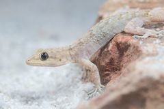 Kotschy-` s Gecko, mediodactylus kotschyi auf dem Sand stockbild