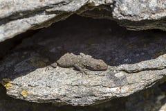 Kotschyi de Mediodactylus du gecko de Kotschy se reposant sur un plan rapproch? de pierres dans un jour ensoleill? images libres de droits