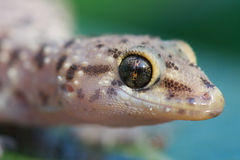 Kotschyi's tuberculed gecko. The tuberculed gecko,Cyrtopodion kotschyi beutleri, is an small gecko species that lives in all of southern Europe and consists of Royalty Free Stock Photos