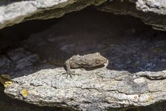 Kotschys Gecko Mediodactylus-kotschyi, das auf einer Steinnahaufnahme an einem sonnigen Tag sitzt stockfotografie
