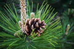 Kottar av granen och sörjer, torkar, bryner Mogna frukter som fortlevde vintern på bakgrunden av sand i skogen arkivbild