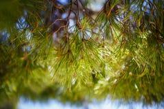 Kottar för granträd på filial i skog royaltyfri foto