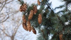 Kottar för julgranen för granträdfilialer som täckas med snö på filialerna, övervintrar naturen arkivfilmer