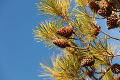 Kottar på barrträdträd arkivbild