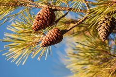 Kottar på barrträdträd arkivfoton