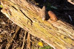 Kottar på en journal från åt i skogen på jordningen i nedgången royaltyfria foton