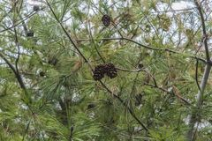 Kottar på ett sörjaträd royaltyfri foto