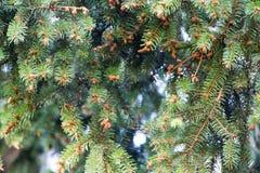 kottar spruce royaltyfri bild