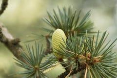 Kotte av en Cedar Cedrus libani royaltyfria bilder