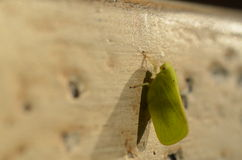 Kotte-hövdat grönt Planthopper fel Royaltyfri Foto