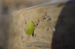 Kotte-hövdat grönt Planthopper fel Arkivbilder