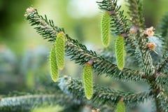 Kottebakgrund Närbild av unga gröna gran-träd kottar på träd arkivbilder