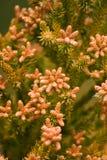 kottebarrträd Arkivbild