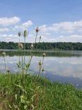 Kotten blommar vid sjön Royaltyfria Bilder