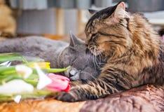 Koty śpią wpólnie na koc Szary Szkocki kiciuni i dorosłego kot pet Kot ściska kota i uściśnięć delikatnie Ładny futerko Kaganiec  obrazy stock
