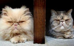 Koty Zdjęcie Stock