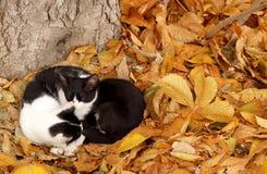 Koty i spadek obrazy royalty free