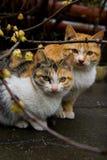 koty śliwkowi kwiat Zdjęcie Royalty Free