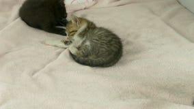 Koty na różowej koc zbiory