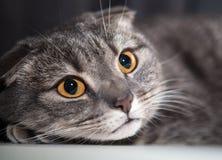 Koty okaleczający spojrzenia Zdjęcie Royalty Free
