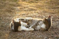 koty trochę dwa Zdjęcia Royalty Free