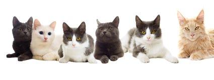 koty ustawiający Obrazy Stock