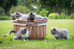 Koty w koszu Obraz Royalty Free