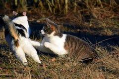 Koty walczy outdoors Zdjęcia Stock