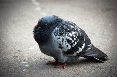 Koude duif Stock Foto