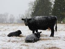 Koude Zwarte Koeien stock foto's