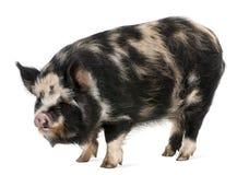 kounini świnia Zdjęcia Royalty Free