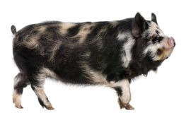 Kounini pig. In front of white background Royalty Free Stock Photography