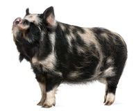 Kounini pig. In front of white background Stock Images