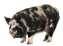 Kounini pig. In front of white background Royalty Free Stock Photos