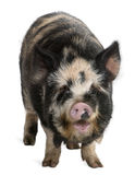 Kounini pig. In front of white background Stock Photo