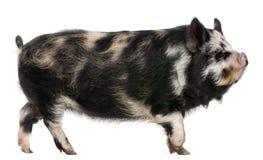 Kounini Schwein Lizenzfreie Stockfotografie