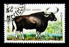 Kouprey (Bossauveli), utsatt för fara djurserie, circa 1990 Royaltyfri Fotografi