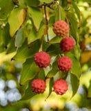 Kousa山茱萸的果子 免版税库存图片